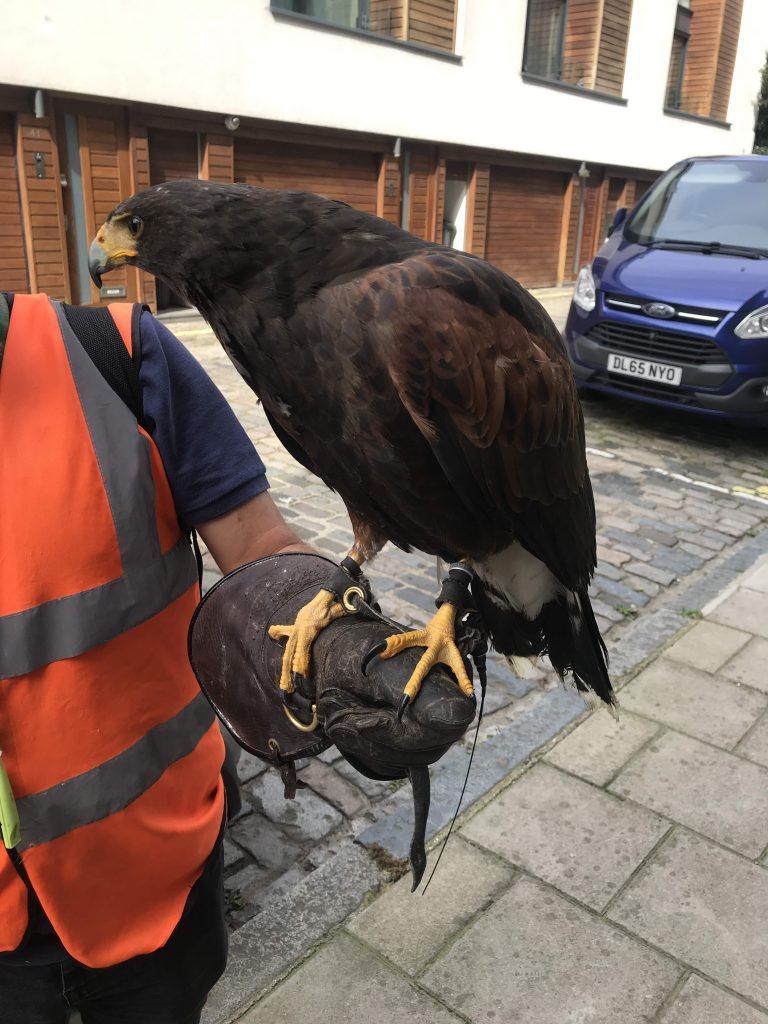 Hawk in CGG 21 Aug 2019